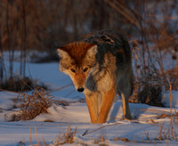 Coyote female mousing at sunset