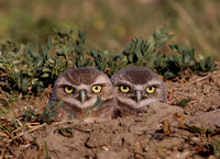 Burrowing Owls - Badlands National Park