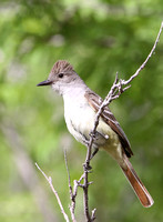 Ash-throated Flycatcherl - Big Bend National Park, Texas