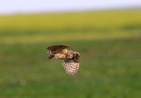 Burrowing Owl Flight - Badlands National Park, South Dakota