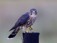 Merlin with Dragonfly - Anahuac NWR, Texas