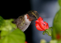 Ruby-throated Hummingbird - Bentsen Rio Grande State Park, Texas