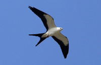Swallow-tailed Kite Champaign, IL