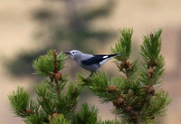 Clark's Nutcracker - Yellowstone National Park, Wyoming