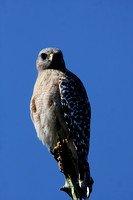 Red-shouldered Hawk - Corkscrew Swamp, Florida