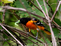 Baltimore Oriole (with prey)