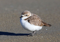 Snowy Plover - Galveston, Texas