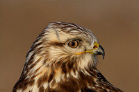 Rough-legged Hawk with Vole (Wild)