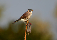 American Kestrel (with prey)