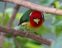 Red-headed Barbet - Costa Rica