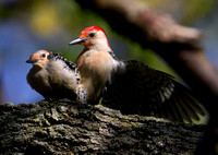 Red-bellied Woodpeckers (male and female)