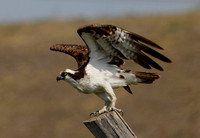 Osprey - Perspective