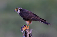 Aplomado Falcon with prey - Texas