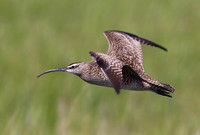 Whimbrel in Flight - Anahuac NWR