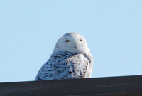 Snowy Owl - Horicon Marsh, Wisconsin