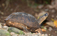 Black River Turtle - Selva Verde, Costa Rica