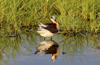 Wilson's Phalarope - Anahuac National Wildlife Refuge, Texas
