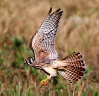 American Kestrel (Female/Flight)
