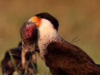 Crested Caracara with Rabbit Prey