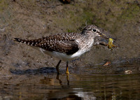 Solitary Sandpiper (with larvae)