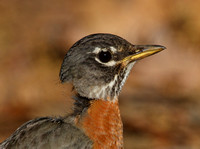 American Robin - missing neck feathers