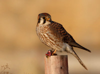 American Kestrel on Prey - Bolingbrook, Illinois