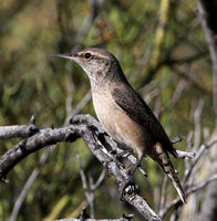 Rock Wren - Saguaro National Park