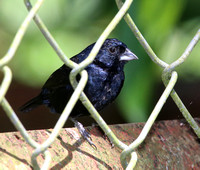 Blue-black Grassquit - Costa Rica