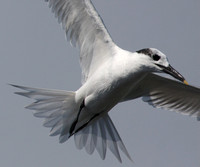 Sandwich Tern Galveston, Texas