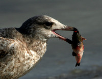 Herring Gull (with fish)