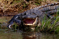 American Alligator - Anahuac National Wildlife Refuge, Texas