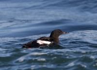 Black Guillemot - Acadia, Maine