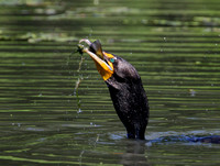 Double-crested Cormorant with catfish