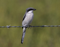 Loggerhead Shrike Anahuac National Wildlife Refuge