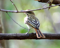 Sulpher-bellied Flycatcher