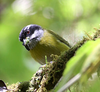 Sooty-capped Chlorospingus - Suria, Costa Rica