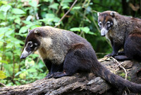 White-nosed Coati - Costa Rica
