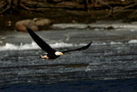 Bald Eagle (with fish)