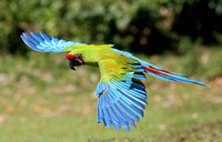 Great Green Macaw - Selva Verde, Costa Rica
