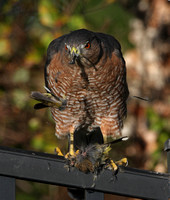 Cooper's Hawk with Prey