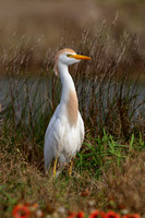 Cattle Egret - Galveston, Texas