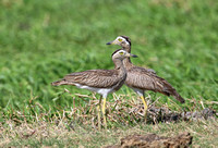 Double-striped Thick-Knee - Casa Solimar, Costa Rica