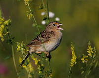 Grasshopper Sparrow on Sweet Yellow Clover