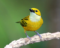 Silver-throated Tanager - Costa Rica