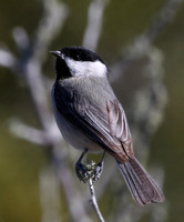 Carolina Chickadee - Big Lagoon, Florida