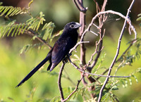Groove-billed Ani - Casa Solimar, Costa Rica