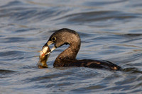 Pied-billed Grebe with prey