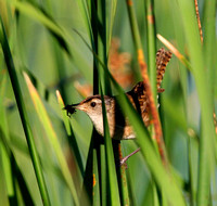 Marsh Wren (with lunch)