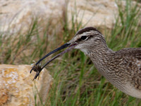 Whimbrel with Prey