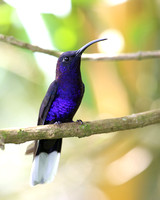 Violet Sabrewing - Costa Rica